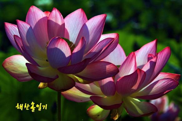 연꽃구경 - 정호승